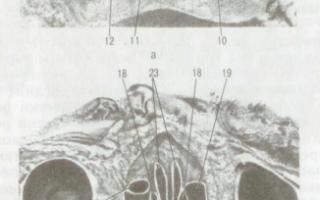 Строение носа человека: околоносовые пазухи, ходы и стенки, а также его функции