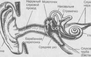 Какие есть нервные окончания в ухе?