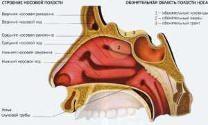 Анатомия уха, горла и носа