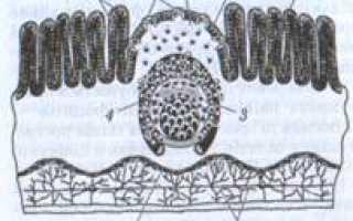 Что такое лимфоидные фолликулы?