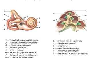 Что такое улитка внутреннего уха?